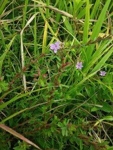 Lythrum alatum - Tara Littlefield