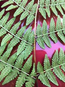 Macrothelypteris torresiana - Dwayne Estes
