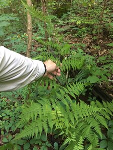 Macrothelypteris torresiana - Joey Shaw