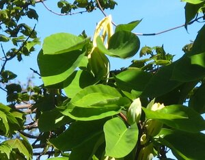 Magnolia acuminata var. acuminata - Milo Pyne
