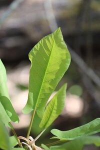 Magnolia fraseri - Ashley B. Morris