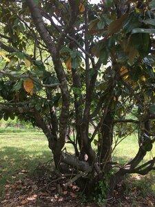 Magnolia grandiflora - Dwayne Estes
