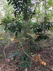 Magnolia grandiflora - Joey Shaw