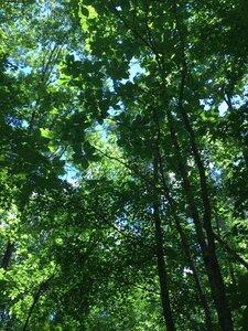 Magnolia macrophylla - Joey Shaw