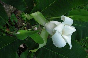 Magnolia macrophylla - Milo Pyne