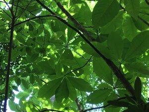 Magnolia tripetala - Dwayne Estes