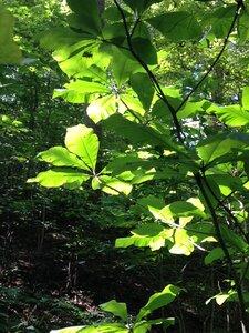 Magnolia tripetala - Milo Pyne