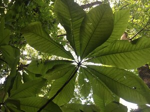 Magnolia tripetala - Theo Witsell