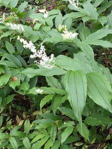 Maianthemum racemosum - Ashley B. Morris