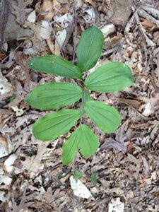 Maianthemum racemosum - Milo Pyne