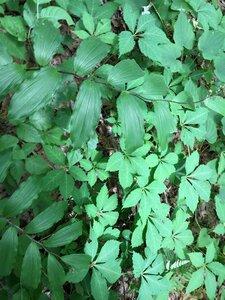 Maianthemum racemosum - Theo Witsell
