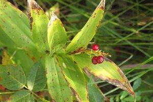 Maianthemum stellatum - Milo Pyne