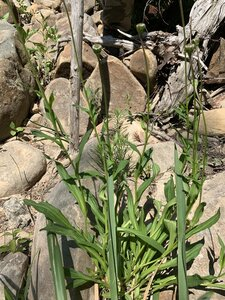 Marshallia grandiflora - Dwayne Estes