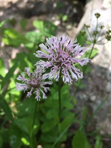 Marshallia grandiflora - Tara Littlefield
