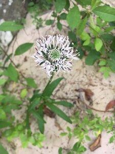 Marshallia grandiflora - Theo Witsell
