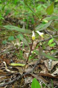 Melampyrum lineare var. latifolium - Milo Pyne