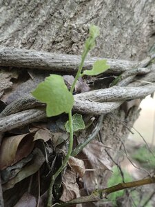 Menispermum canadense - Milo Pyne