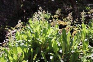 Micranthes micranthidifolia - Ashley B. Morris