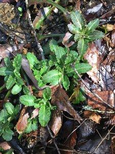Micranthes micranthidifolia - Tara Littlefield
