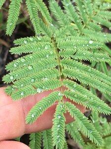 Mimosa microphylla - Joey Shaw