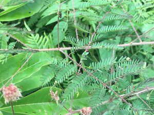 Mimosa microphylla - Theo Witsell