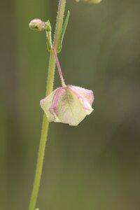 Mirabilis albida - Ashley B. Morris