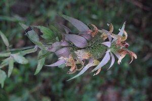 Monarda punctata var. villicaulis - Milo Pyne