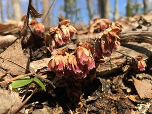 Monotropsis odorata - Tara Littlefield