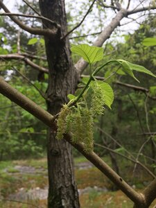 Morus rubra - Tara Littlefield