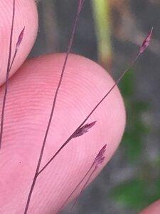 Muhlenbergia capillaris - Dwayne Estes