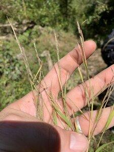 Muhlenbergia sylvatica - Dwayne Estes