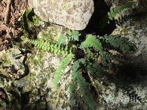 Myriopteris alabamensis - Sunny Fleming