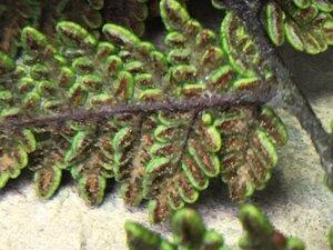 Myriopteris lanosa - Joey Shaw