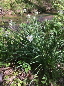 Narcissus poeticus - Joey Shaw