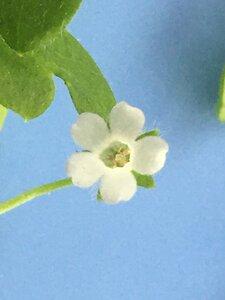 Nemophila aphylla - Joey Shaw