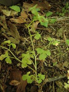 Nemophila aphylla - Milo Pyne