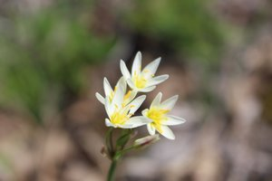 Nothoscordum bivalve - Ashley B. Morris