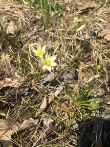 Nothoscordum bivalve - Tara Littlefield
