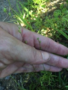 Nuttallanthus canadensis - Tara Littlefield