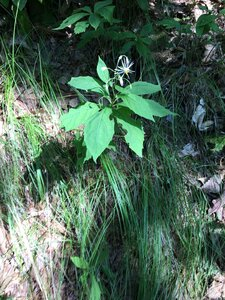 Oclemena acuminata - Dwayne Estes