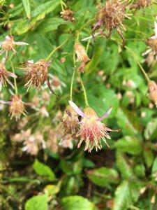 Oclemena acuminata - Joey Shaw