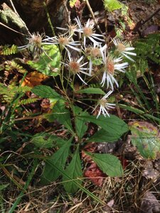 Oclemena acuminata - Milo Pyne