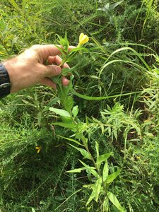 Oenothera biennis - Joey Shaw