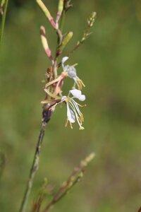Oenothera filipes - Ashley B. Morris