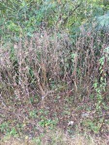 Oenothera filipes - Joey Shaw