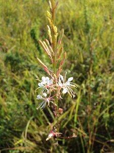 Oenothera filipes - Sunny Fleming
