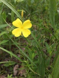 Oenothera fruticosa - Tara Littlefield