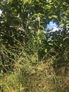 Oenothera gaura - Tara Littlefield