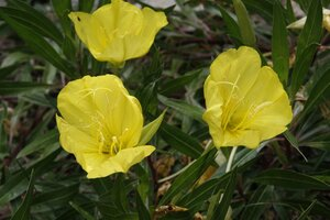 Oenothera macrocarpa ssp. macrocarpa - Sunny Fleming