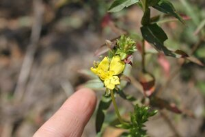 Oenothera parviflora - Dwayne Estes